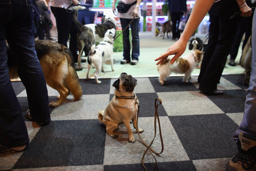 . A pug is told to remain seated on the first day of Crufts dog show at the NEC on March 7, 2013 in Birmingham, England. The four-day show features over 25,000 dogs, with competitors traveling from 41 countries to take part. Crufts, which was first held in1891, sees thousands of dogs vie for the coveted title of \'Best in Show\'.  (Photo by Oli Scarff/Getty Images)