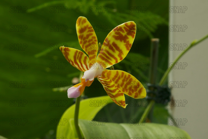 The Striped Flower Phalaenopsis (Phalaenopsis fasciata), was on exhibit at the White River Gardens in Indianapolis, IN.  The orchids were part of the Wheeler Orchid Collection at Ball State University in Muncie, IN.