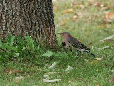20180920 Northern Flicker