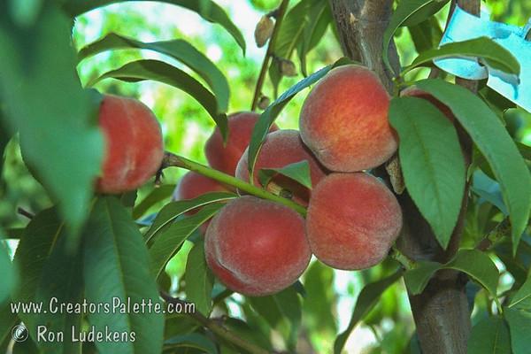Flordaprince Peach (Prunus persica)