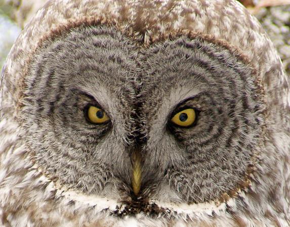 April 5, 2009 Great Gray Owl