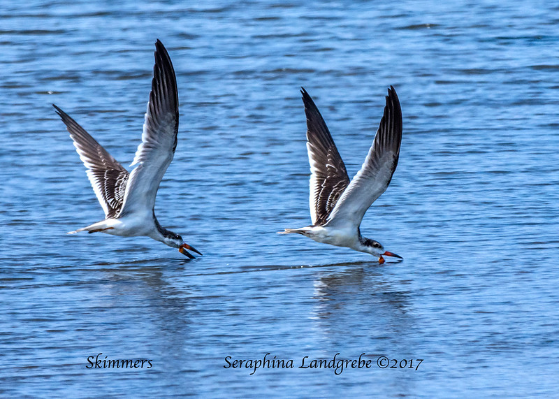 _DSC2535Two Skimmers fishing.jpg