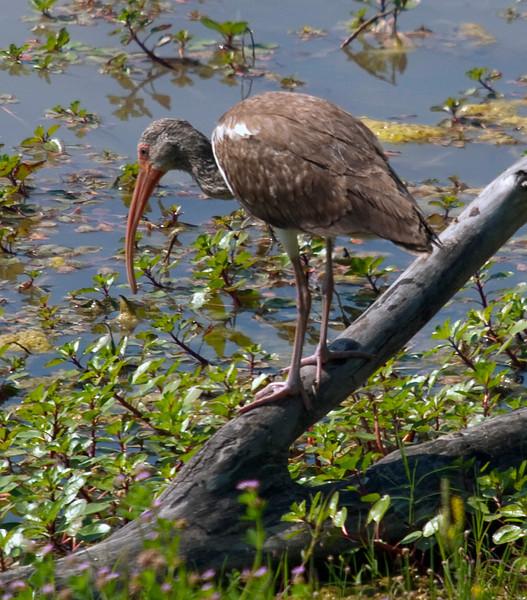 A juvenile white ibis in the Meyerland Basin, Houston