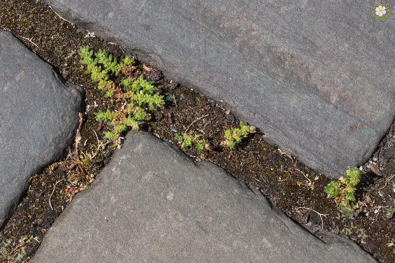 Herniaire velue (Herniaria hirsuta)