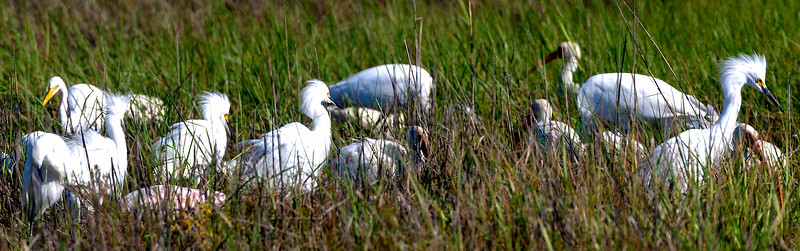 Four Snowy Egrets showoff their breeding plumage.