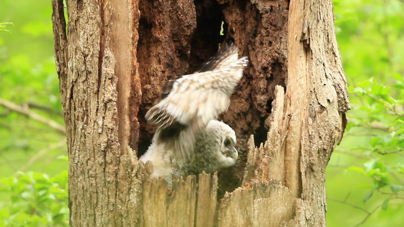Barred Owl nest