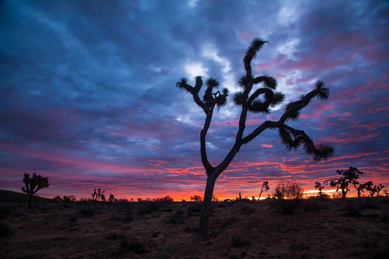 Joshua trees at sunrise. Joshua Tree National Park