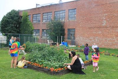 Lettuce, Vegetable Picking, Kids Activities, Lansford Community Garden, Lansford (7-28-2014)
