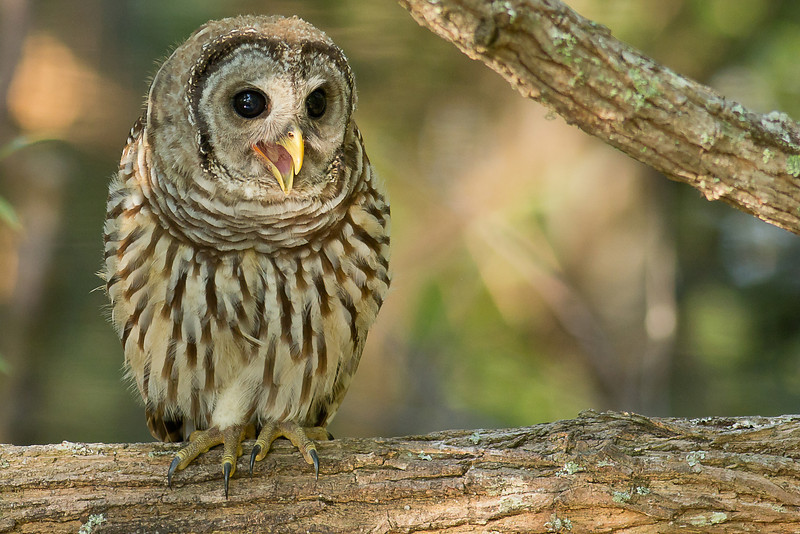 Barred Owl - Chirps for the attention of its mate