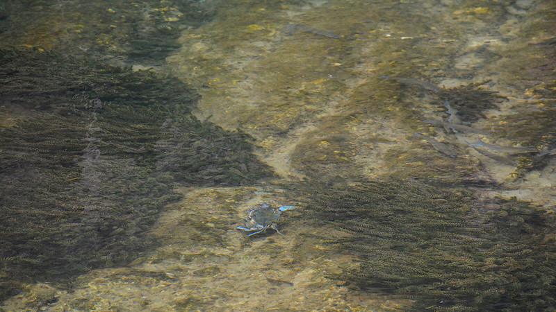 blue crab and mullet Salt Springs