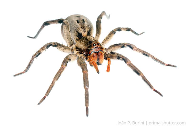 Wolf spider (Lycosa erythrognatha) Piedade, SP, Brazil June 2013 Atlantic forest
