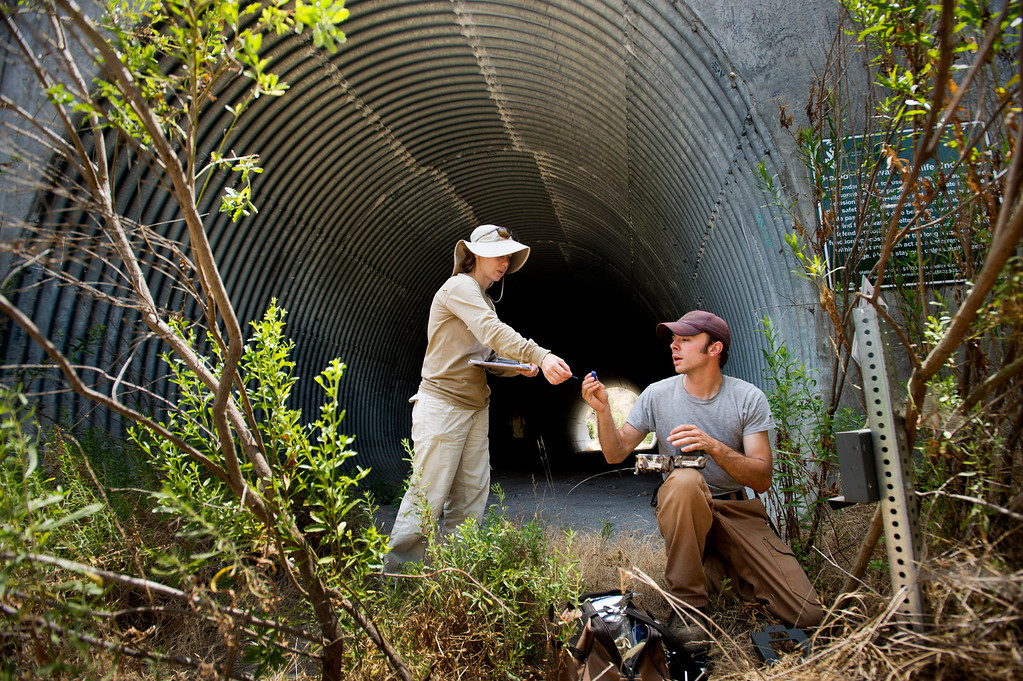 . Field technicians Robert Alonso and Kathy Baumberger, of U.S. Geological Survey, check a bobcat remote camera Tuesday, July 2, 2013 at the Harbor Boulevard wildlife underpass in Rowland Heights. Data is being collected on the bobcats to gauge the population and their roaming territory within the Whittier Hills Nature Preserve. (Staff Photo by Watchara Phomicinda/SGVN)