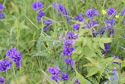Clustered Bellflower