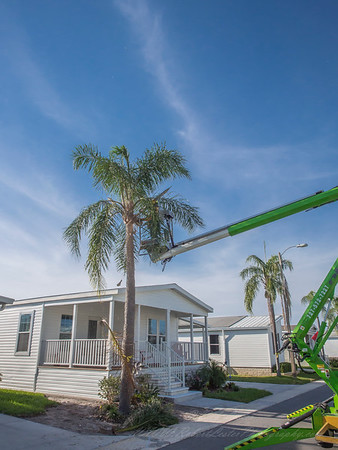 Regency Heights Mobile Homes...Palm Trimming...2019-03-11