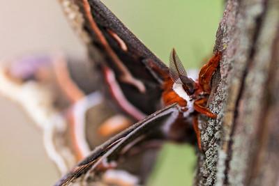Cecropia silkmoth  (Hyalophora cecropia)