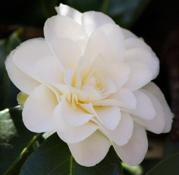 magnolia IMG_3285 rt.jpg