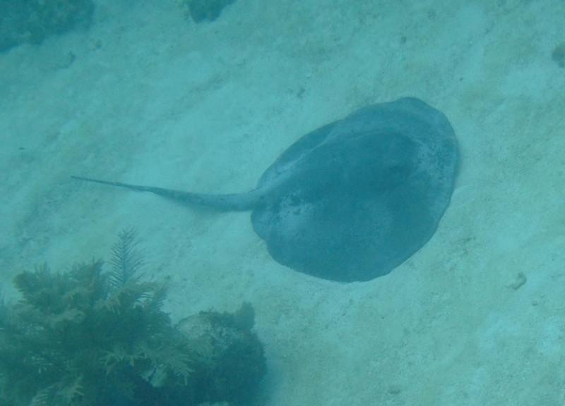 Biggest Stingray - Utila, Honduras