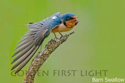 Barn Swallow, Ridgefield National Wildlife Refuge, USA