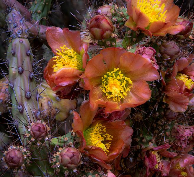 Cholla Blooms