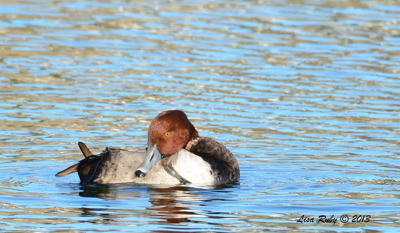 Redhead - 12/23/13 - Santee Lakes