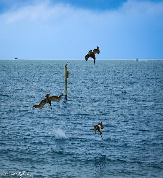 1268 E P Pelicans Fishing.jpg