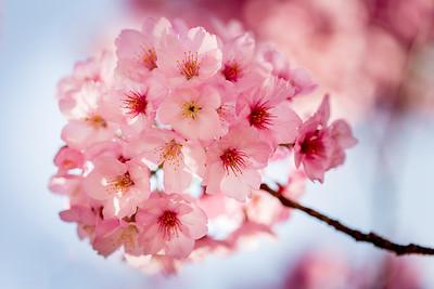 Sakura 桜 サクラ