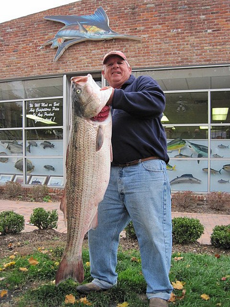 11/1/2009  Ray Bartlett of the UPS store in Babylon Village holding up this 44 pound Bass he worked hard for. The Striper was weighed in at Saltwaters Tackle in West Islip   http://www.tacklefishing.com/