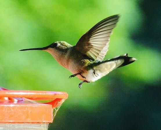 Hummingsbirds 2015