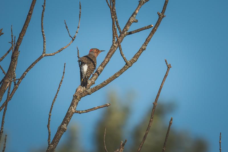 A Gila Woodpecker at the Celery Bog near Purdue University in West Lafayette, Indiana