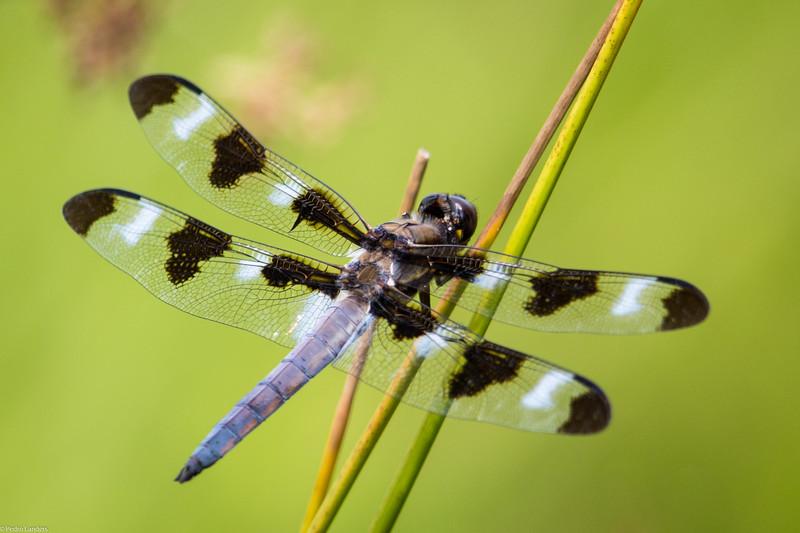Twelve-spotted Skimmer 2
