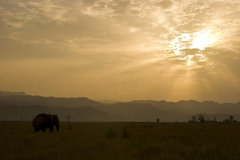 Elephant in grasslands or chaurs of Corbett National Park at sunset