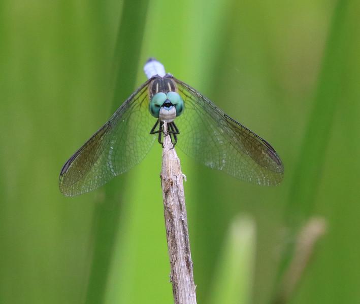 dragon fly 3.jpg