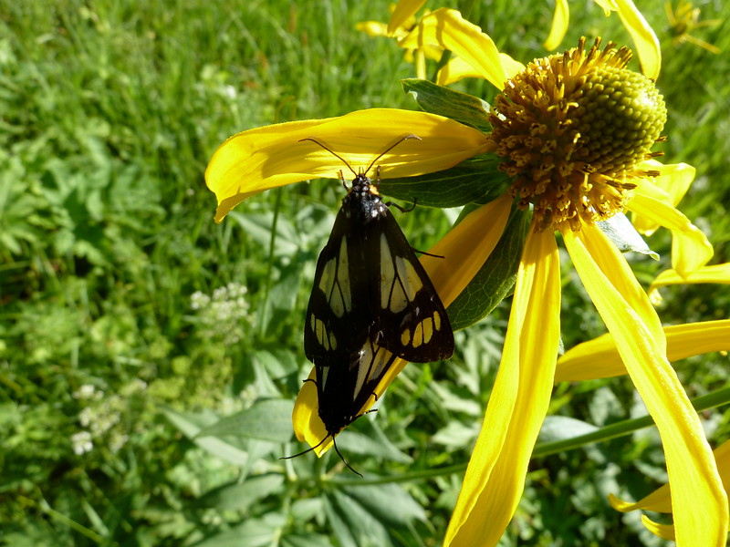 Butterfly and butter flower