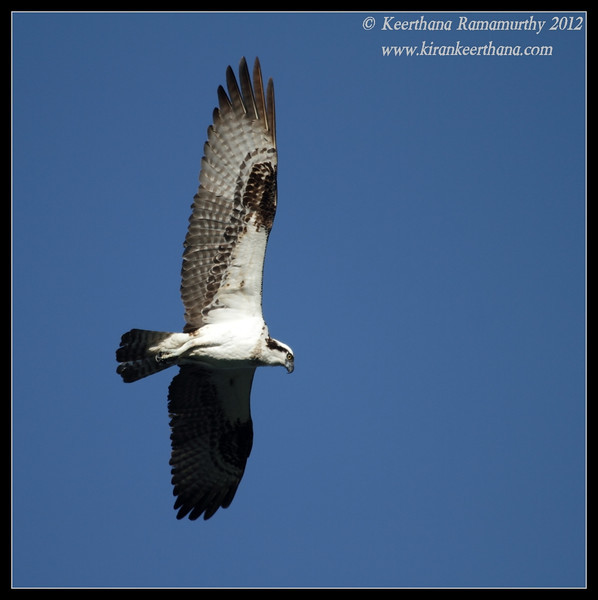 Osprey wing spread, Robb Field, San Diego River, San Diego County, California, February 2012