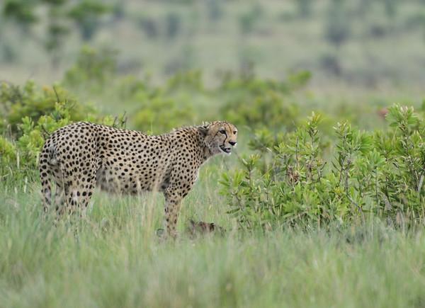 Jachtluipaard; Cheetah; Acinonyx jubatus; Guépard; Gepard