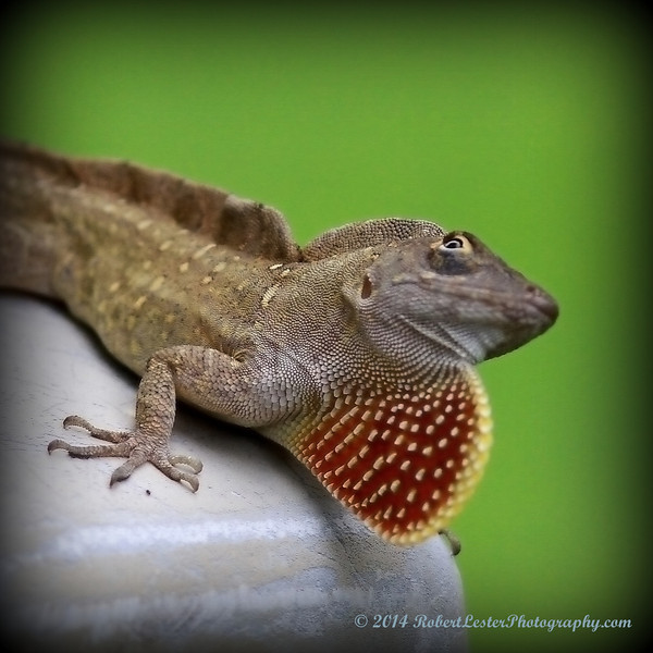 2014-06-01_IMG_0534__Brown Anole ,Clearwater,Fl..JPG