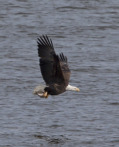Eagles on the Mississippi