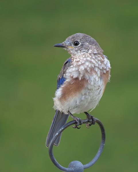 sx50_bluebird_fledgling_moult_386.jpg