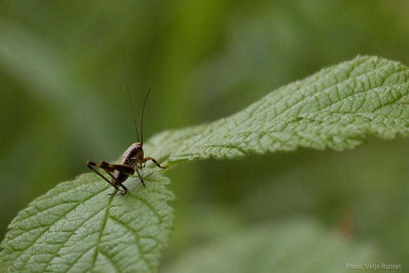 Pholidoptera griseoaptera, larvae