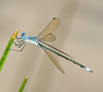 Lestidae (Spreadwings)