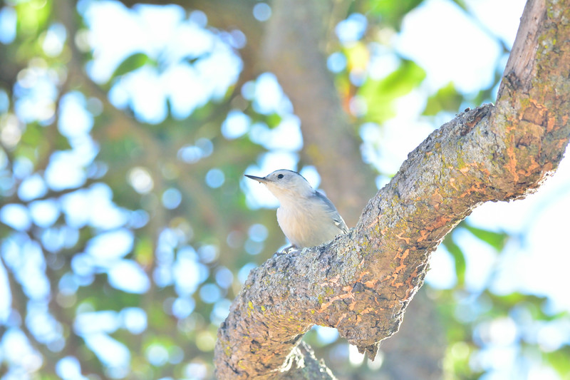 White-chested Nuthatch
