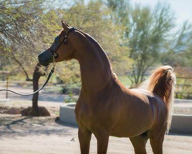 Byatt Arabians