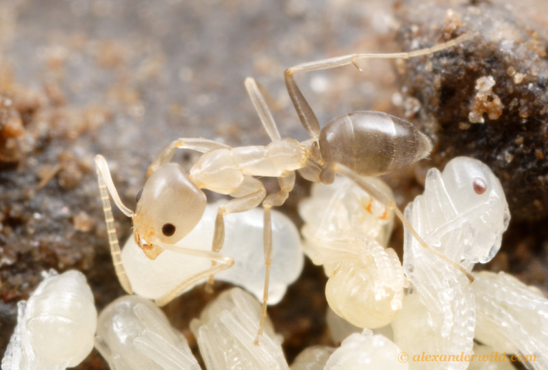 A very young worker ant.  Ants begin their adult life as soft, pale creatures.  Their integument hardens and strengthens over time. Linepithema oblongum.  Carapunco, Tucumán, Argentina