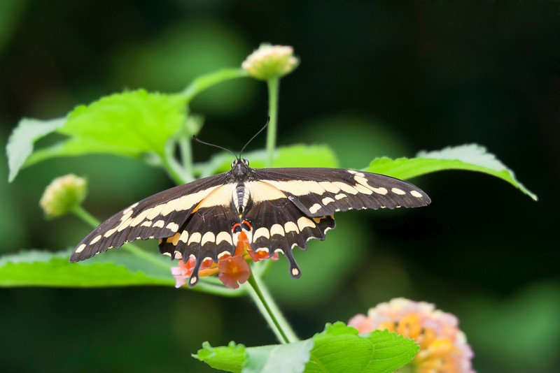 Giant Swallowtail Butterfly on Leaf – Papilio cresphontes in a Butterfly House