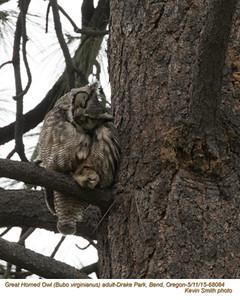 Great Horned Owl A68084.jpg