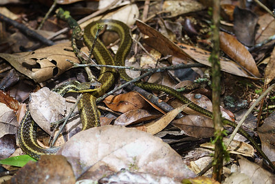 Bernier's Striped Snake