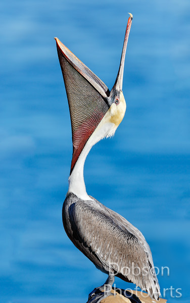 Brown Pelicans - Head-Throws