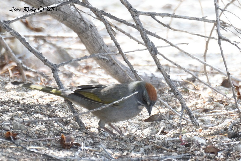 Green-tailed Towhee  - 4/15/2018 - Agua Caliente County Park Campground