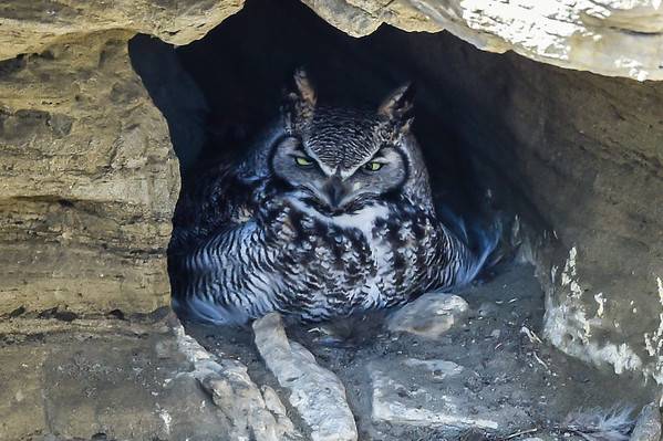 3-22-15 Great Horned Owl Cave Nest Update #1 2015