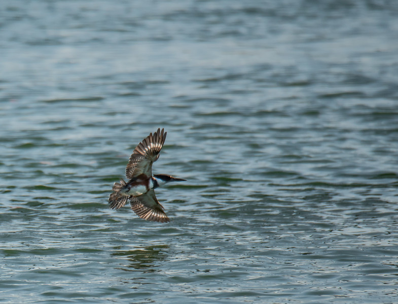Belted Kingfisher across the water